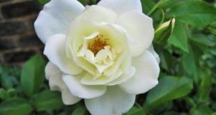 صوره صورة وردة بيضاء , اجدد باقات زهور مميزة للحفلات