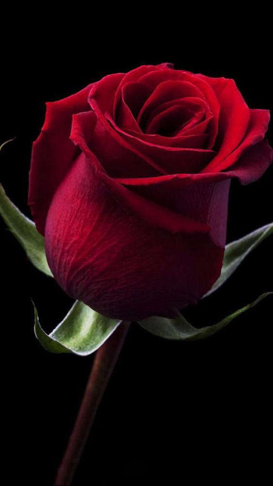 بالصور صوره ورد جوري , اروع باقة زهور بالون الاحمر 288 2