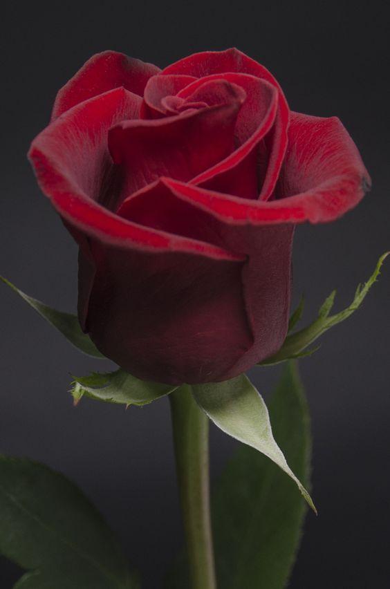 بالصور صوره ورد جوري , اروع باقة زهور بالون الاحمر 288 3