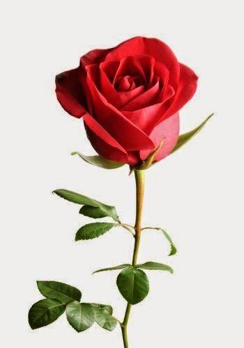 بالصور صوره ورد جوري , اروع باقة زهور بالون الاحمر 288 4