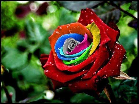 بالصور صورة وردة جميلة , شوفوا اروع ورود 1090 5