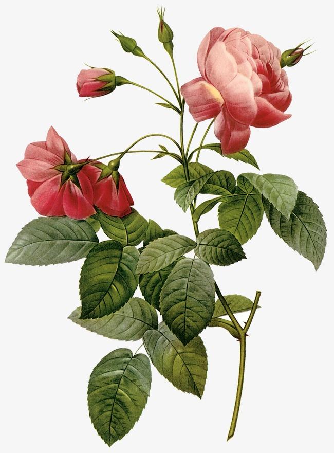 بالصور صورة وردة جميلة , شوفوا اروع ورود 1090 7