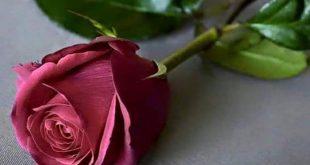 صورة صورة وردة جميلة , شوفوا اروع ورود