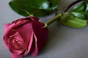 صوره صورة وردة جميلة , شوفوا اروع ورود