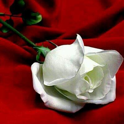 بالصور صورة وردة جميلة , شوفوا اروع ورود