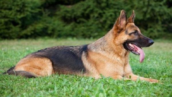 صور صور كلاب حراسه , صور اشرس انواع الكلاب