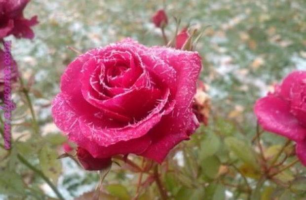 بالصور صور ازهار جميله , صورة لاجمل الورود بالعالم 1241 6