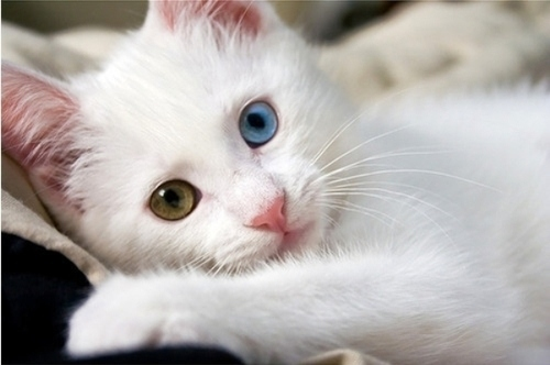 صورة صور لقطط جميلة , صور قطط بيضاء