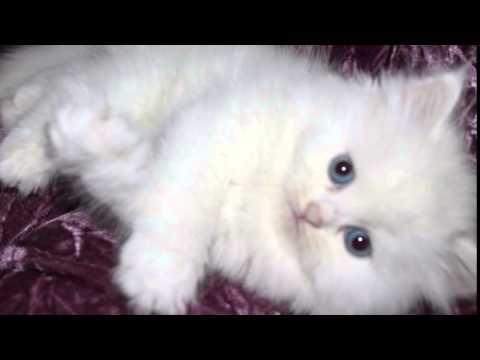 بالصور صور لقطط جميلة , صور قطط بيضاء 1276 3