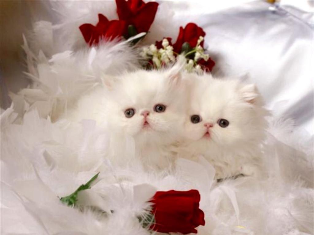 بالصور صور لقطط جميلة , صور قطط بيضاء 1276 4