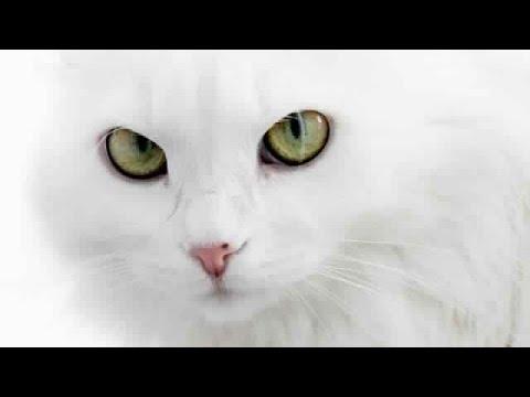 بالصور صور لقطط جميلة , صور قطط بيضاء 1276 5