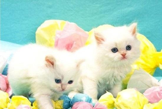 بالصور صور لقطط جميلة , صور قطط بيضاء 1276 7