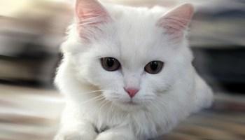 بالصور صور لقطط جميلة , صور قطط بيضاء 1276 9
