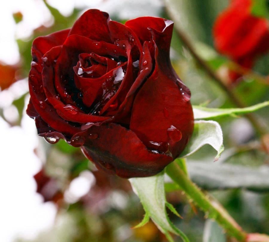 بالصور صور للورود , شاهد جمال الوردة في هذه المجموعة 1306 3