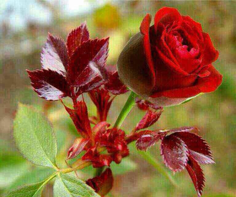 بالصور صور للورود , شاهد جمال الوردة في هذه المجموعة 1306 4