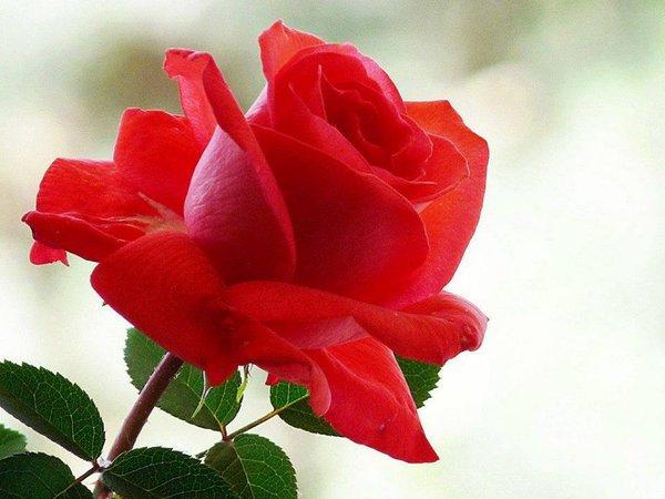 بالصور صور للورود , شاهد جمال الوردة في هذه المجموعة 1306 8