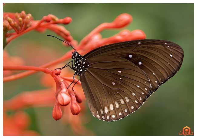 بالصور صور فراشات متحركة , احلى اشكال الفراشات 1502