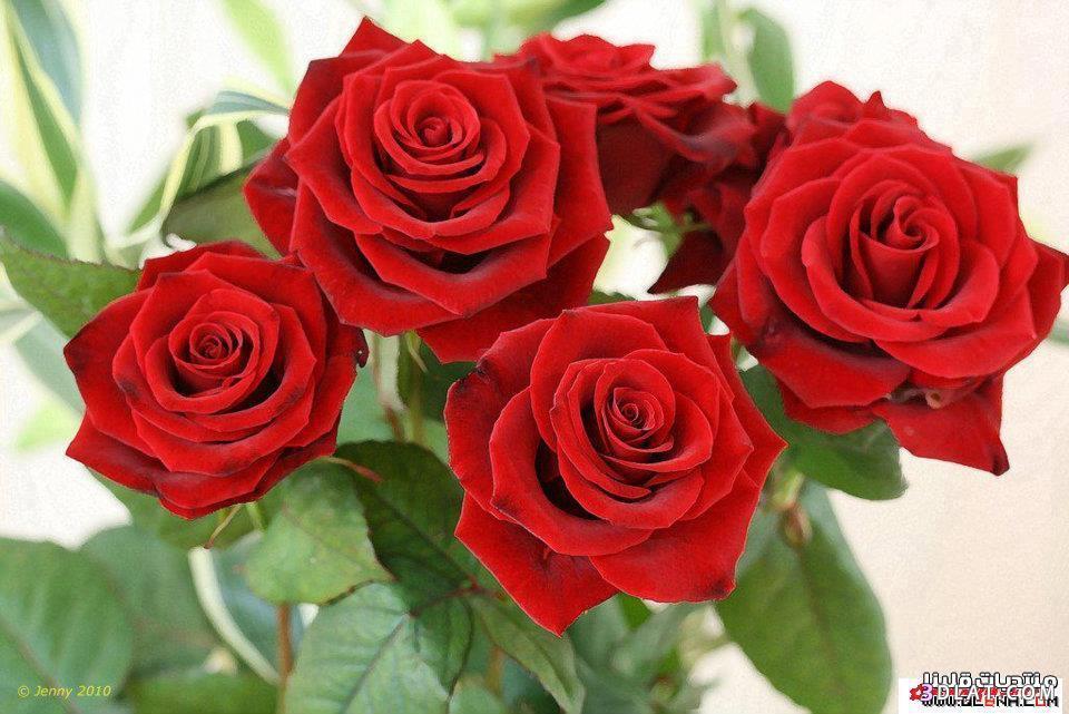 صوره صور ورود حمراء , احلى وردات باللون الاحمر