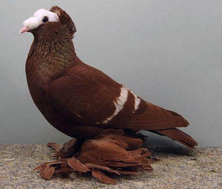 بالصور صور طيور حمام , صور حمام روعه 1890 2