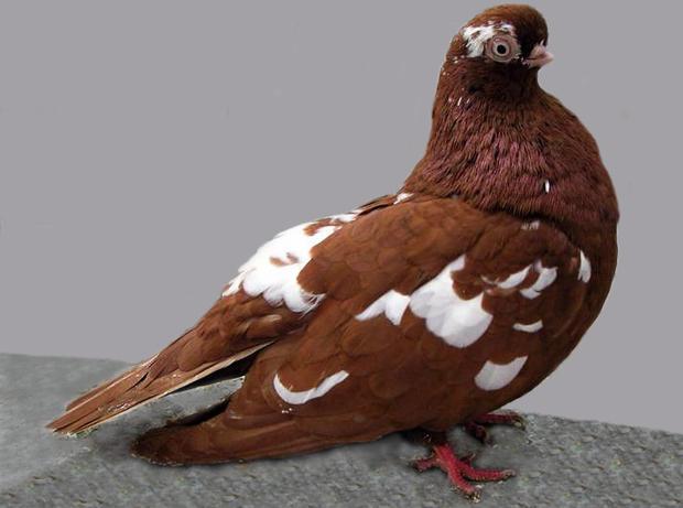 بالصور صور طيور حمام , صور حمام روعه 1890 3