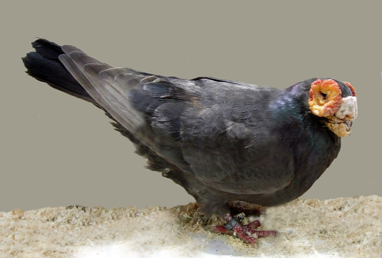 بالصور صور طيور حمام , صور حمام روعه 1890 6