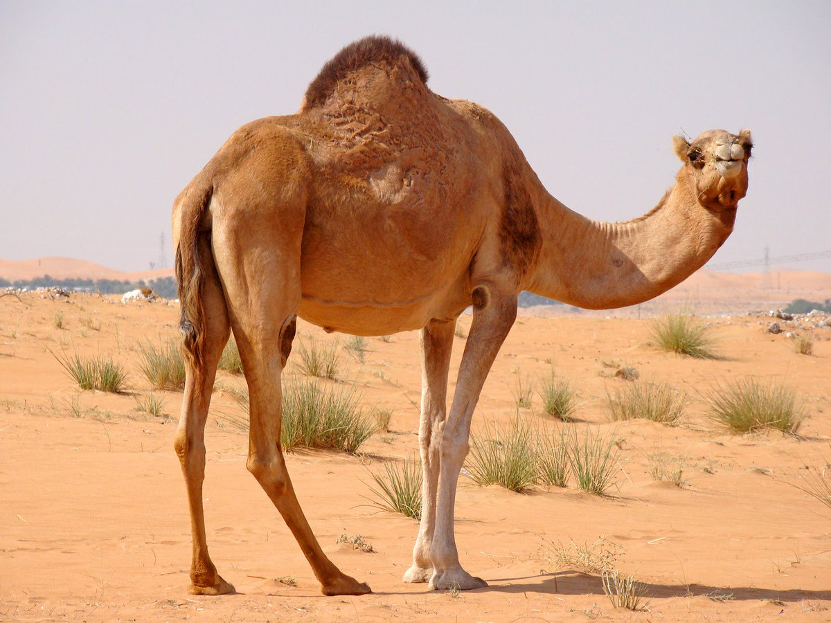 بالصور صور جمل , صور حيوانات جميلة 976 1