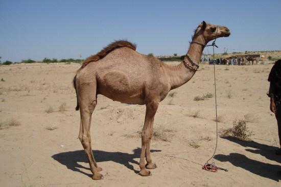 بالصور صور جمل , صور حيوانات جميلة 976 7