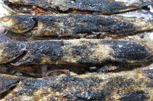 صوره سمك مشوي بالفرن منال العالم , كيفية شوي السمك البوري في الفرن