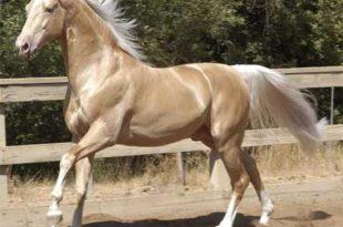 صور اجمل حصان بالعالم , الحصان الاجمل في العالم