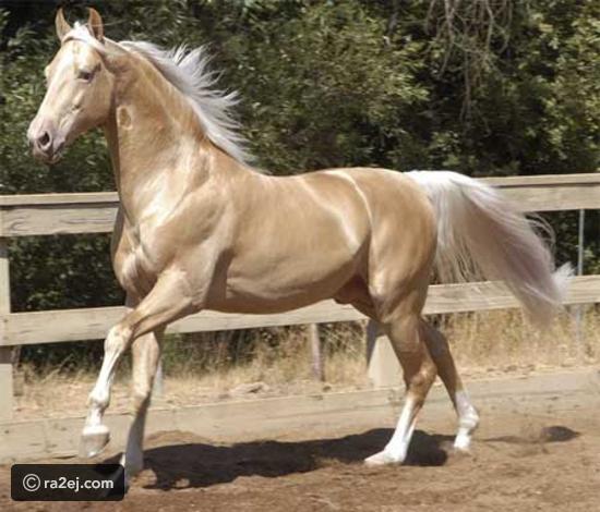 صوره اجمل حصان بالعالم , الحصان الاجمل في العالم