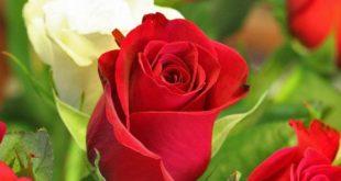 صورة اجمل الصور في العالم , صور لاجمل الزهور في العالم