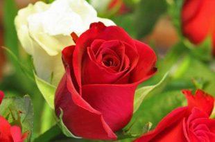 صوره اجمل الصور في العالم , صور لاجمل الزهور في العالم