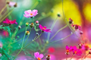 صور خلفيات ورود روعة , خلفيات الورد الجميلة