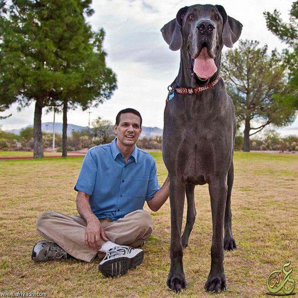 صورة اكبر كلاب العالم , اضخم الكلاب في العالم