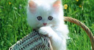 بالصور صور قطط جميلة , القطط وجمالها وشقاوتها 9099 9 310x165