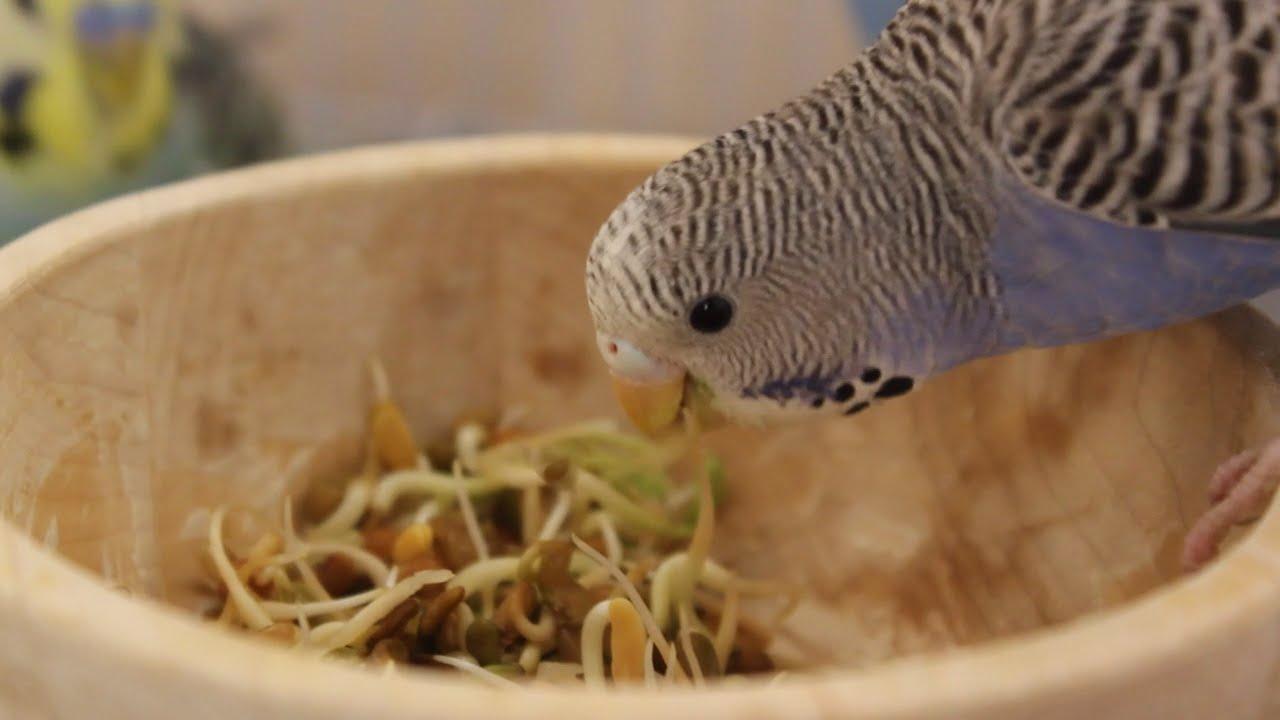 صورة اكل طيور الحب، حبوب مفيده للطيور