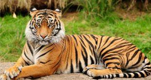 صورة صور نمر, اشرس الحيوانات اللاحمة