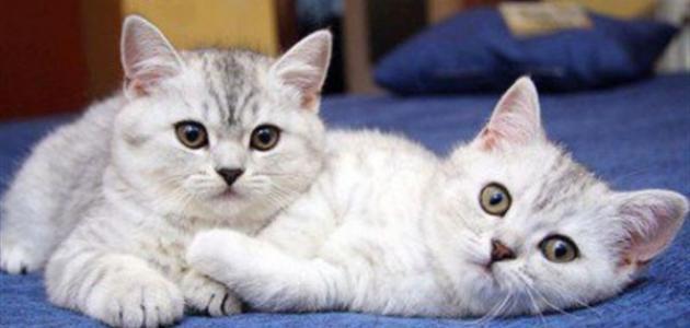 صورة اضرار تربية القطط , ماذا يحدث عند تربية القطط