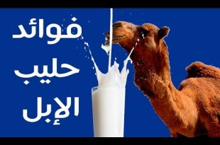 صورة فوائد حليب الناقة , التأثير الايجابي لحليب الناقة