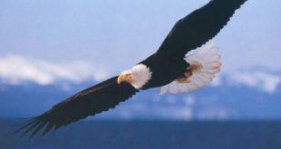 صورة اجمل صور الصقور، صور اشكال من طيور الصقور